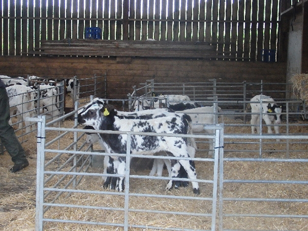 Calves at Forda Farm B&B, North Devon and North Cornwall border. EX22 7BS.