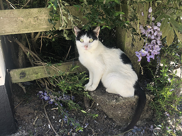 One of the farm cats enjoying a rest under the flowering wisteria at Forda Farm B&B.