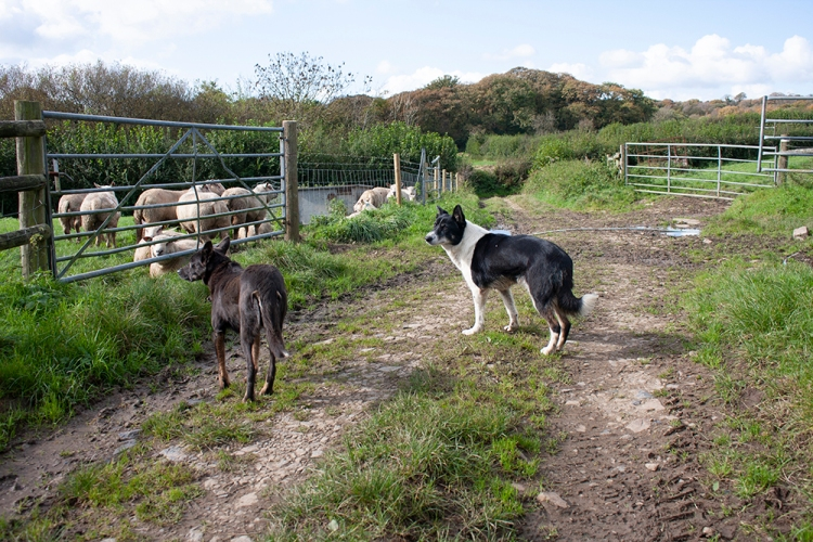 The sheep dogs hard at work at Forda Farm bed and breakfast in North Devon.